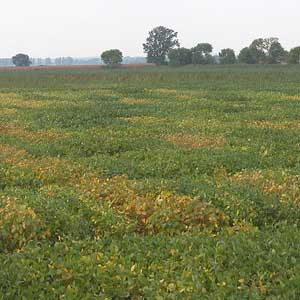 Brown stem rot field trials