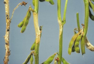 Bleaching of stems as a result of Sclerotinia stem rot.  Photo credit: Craig Grau.