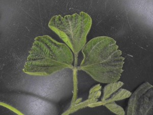 "Figure 5.  ""Shoe-stringing"" of leaves on a soybean plant.  Photo credit: Damon Smith."