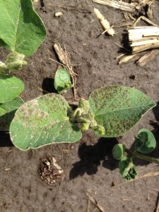 Figure 1. Septoria brown spot on a soybean seedling.