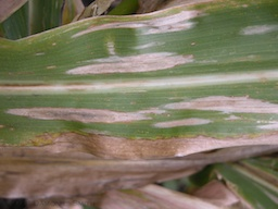Figure 1. NCLB Lesions on a corn leaf