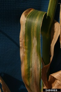 Figure 2. Foliar symptoms of Goss's wilt on a corn leaf. Photo Credit: Larry Osborne, Bugwood.org.