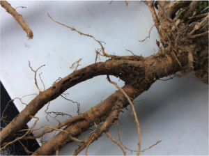 Clover root curculio larval feeding scars on an alfalfa taproot