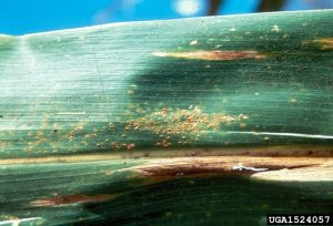 Figure 2. Southern rust pustules on a corn leaf. Photo credit: Department of Plant Pathology., North Carolina State University, Bugwood.org