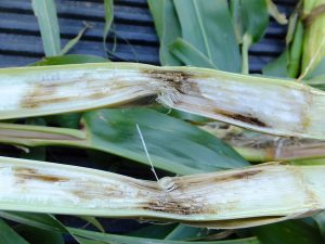 Figure 1. Anthracnose stalk rot symptoms in a cut corn stalk.