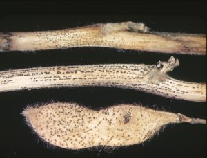 Figure 2. Symptoms and signs of soybean pod and stem blight.