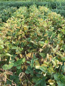 Brown stem rot Archives - Badger Crop Doc